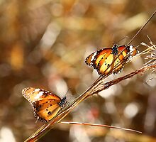 Butterflies at Bald Rock by Ann Marie  Barnes