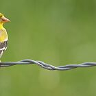 Female American Goldfinch by J. L. Gould