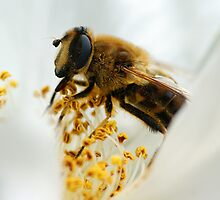 Drone Fly (Eristalis tenax) by Moonlake