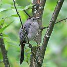 Gray Catbird by Janika