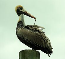 Pelican Feather by Paulette1021