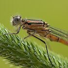 Orangey damselfly close up by AngiNelson
