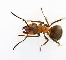 Scottish Wood Ant (Formica aquilonia) by Gabor Pozsgai