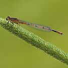 Orange damselfly 2 by AngiNelson