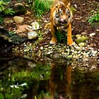 Tiger Reflected by Cecily McCarthy