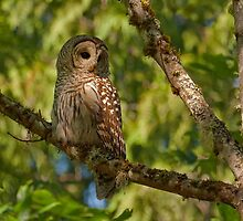 FEMALE BARRED OWL by Sandy Stewart