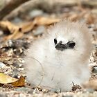 Red Tailed TropicBird Chick by Gina Ruttle  (Whalegeek)