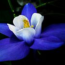 Beauty of a Columbine by Dawn B Davies-McIninch