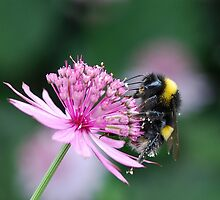 Bumble on Astrantia by John Morrison