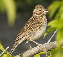 Vesper Sparrow 01 by DigitallyStill