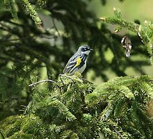 Yellow-rumped Warbler by eaglewatcher4