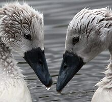 Two Cygnets, Hogganfield Loch, Glasgow, Scotland, UK, Europe. by simpsonvisuals