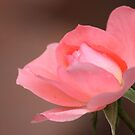 Pink Rose by Carrie Bonham