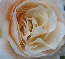 Apricot Souffle Rose by MarianBendeth