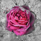 pink rose on black and white by Jacqe Matelot