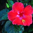 Red Hibiscus 2 by Stormygirl