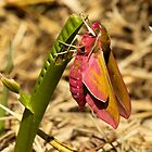Elephant Hawk-Moth by Robert Abraham
