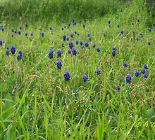 Bluebonnets of Texas by BandGeek