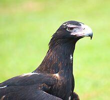 Grumpy face - wedge tailed eagle by Jenny Dean