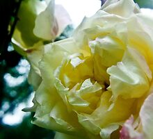 White Rose by EliasDW