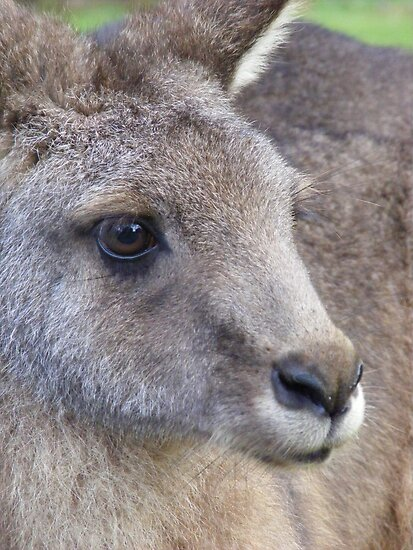 wallaby portrait by gaylene