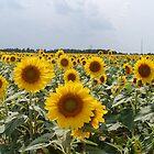 Sunflower Field by JackieSmith