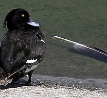The Tufted Duck by snapdecisions