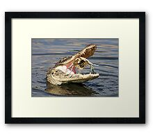 Alligator Catching and Cracking a Crab Framed Print