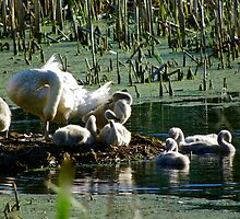 Swans in the Great Swamp by Nancy Rohrig