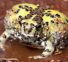 Holy Cross Toad by EnviroKey