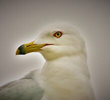 Seagull in Profile by Xcarguy