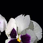 Pansy Power by Corri Gryting Gutzman