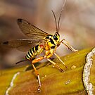 Ichneumon Wasp by Jason Asher