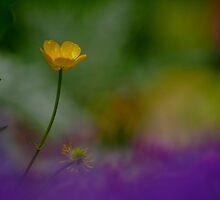 Buttercup by Rodney Bovell