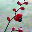 Red pods, black seeds by Antionette