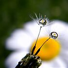 Daisy Refraction In Dandelion Seeds by Shelly Harris