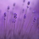 lavender colors by Priska Wettstein