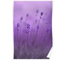 lavender colors Poster