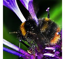 Bumble Bee Buzz Photographic Print