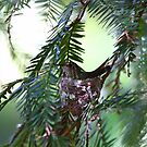 Allen's Hummer on the nest by flyfish70