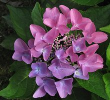 Pink & Lavender Hydrangea by Rusty Katchmer