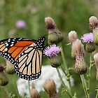 Monhegan Monarch by Tim Devine