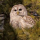 Dark Brown Eyes In The Evergreen / Barred Owl by Gary Fairhead