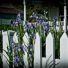 Irises by Phillip M. Burrow