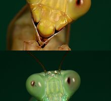 jade mantids.male and female by Scott Thompson