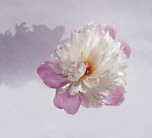 Peony on Pale Mauve by wippapics