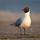 Black-headed Gull by ChromaticTouch