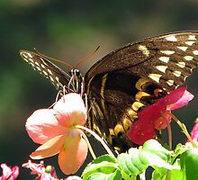 Black Swallowtail III by DottieDees