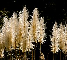 Pompus Grass by imagetj