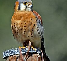 American Kestrel Smallest of the Falcons  by Chuck Gardner